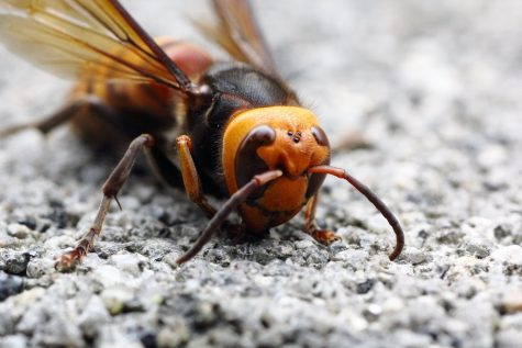 Asian giant hornets are around two inches in length from head to stinger.